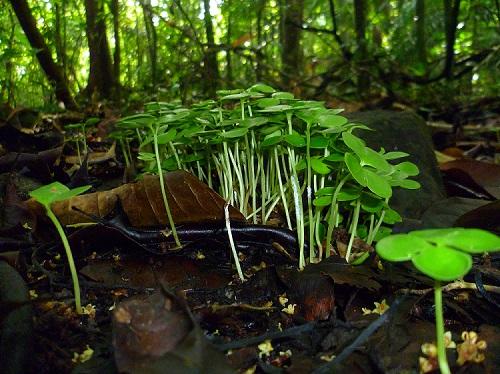 Tabebuia seedlings BCI small